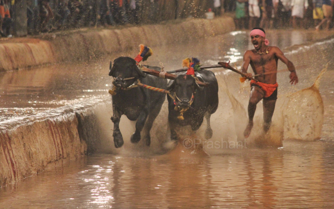 Kambala – Karnataka's traditional buffalo race thrills us